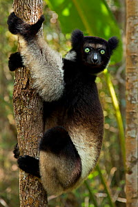 Indri (Indri indri) portrait in tropical rainforest habitat. Madagascar.  -  Andy  Rouse
