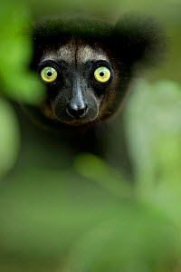 Indri (Indri indri) portrait. Madagascar. - Andy Rouse,Andy  Rouse