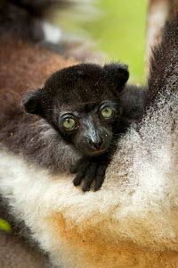 Indri (Indri indri) two-month baby on mother's arm. Madagascar. - Andy  Rouse