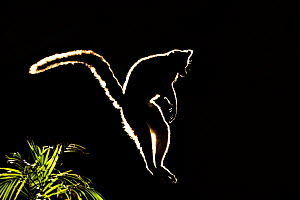 Ringtail Lemur (Lemur catta) jumping between branches in silhouette. Madagascar. - Andy  Rouse
