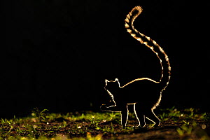 Ring tailed Lemur (Lemur catta) silhouetted. Madagascar.  -  Andy Rouse,Andy  Rouse