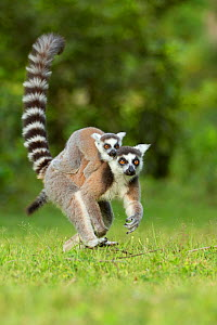 Ringtail Lemur (Lemur catta) mother with baby on back. Madagascar. - Andy  Rouse