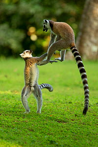 Ringtail Lemurs (Lemur catta) playing. Madagascar. - Andy Rouse,Andy  Rouse