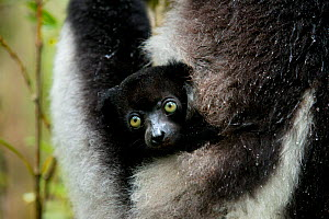 Indri (Indri indri) two month baby in mother's arm. Madagascar. - Andy  Rouse