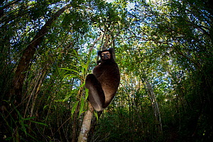 Indri (Indri indri) with wide angle view of tropical rainforest canopy. Madagascar. - Andy  Rouse
