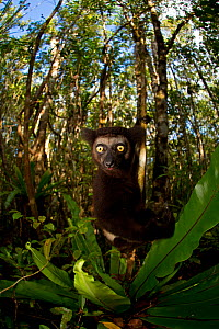 Indri (Indri indri) portrait in tropical rainforest. Madagascar. - Andy  Rouse