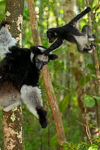 Indri (Indri indri) female with 2 month baby, learning to climb in rainforest habitat. Madagascar. - Andy  Rouse