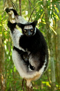 Indri (Indri indri) female with 2 month baby. Madagascar. - Andy Rouse
