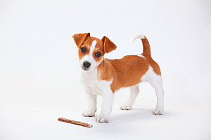 Jack Russell Terrier, puppy bitch standing, aged 9 weeks  with treat. - Petra Wegner