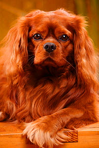 Cavalier King Charles Spaniel, male with ruby coat  -  Petra Wegner,Petra Wegner