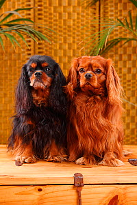 Cavalier King Charles Spaniels one with black-and-tan and the other with ruby coat  -  Petra Wegner