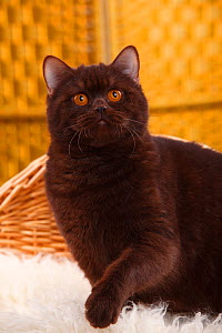 British Shorthair Cat with chocolate coat  -  Petra Wegner,Petra Wegner