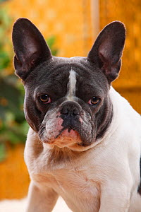 French Bulldog bitch with blue-white, aged one year  -  Petra Wegner,Petra Wegner