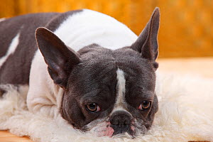 French Bulldog bitch with blue-white, aged one year, resting  -  Petra Wegner