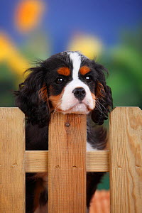 Cavalier King Charles Spaniel, male puppy with tricolor coat  , aged 3 months, at garden fence  -  Petra Wegner