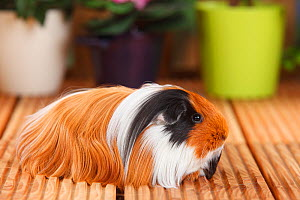 Sheltie Guinea Pig with tortoiseshell-and-white coat  -  Petra Wegner