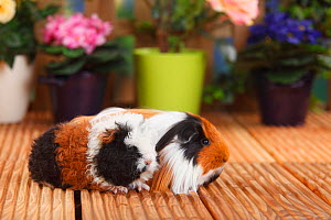 Merino Guinea Pig and Sheltie Guinea Pig with tortoiseshell-and-white coat  -  Petra Wegner