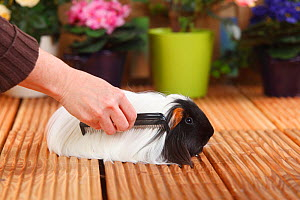 Sheltie Guinea Pig with tortoiseshell-and-white coat  being combed  -  Petra Wegner
