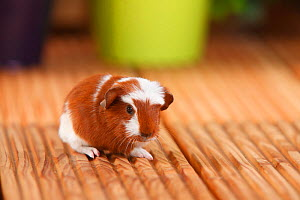 English Crested Guinea Pig aged 4 days, with red-white coat  -  Petra Wegner