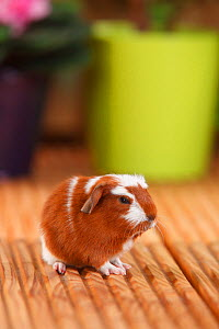 English Crested Guinea Pig aged 4 days, with red-white coat .  -  Petra Wegner