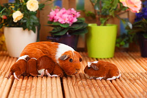 English Guinea Pig with suckling pups aged 4 days, with red-white coat  -  Petra Wegner