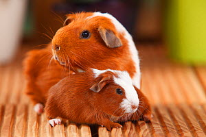 English Guinea Pig with pup, English Crested Guinea Pig, red-white, 4 days  -  Petra Wegner