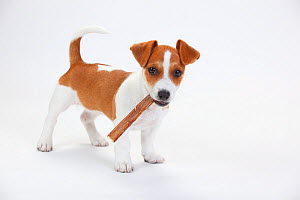 Jack Russell Terrier, puppy bitch aged 9 weeks, chewing on treat. - Petra Wegner
