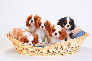 Cavalier King Charles Spaniel, five puppies in basket, one with tricolour and the others with blenheim coat - Petra Wegner