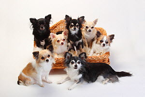 Chihuahuas, mixture of longhaired and short-haired sitting in basket.  -  Petra Wegner,Petra Wegner