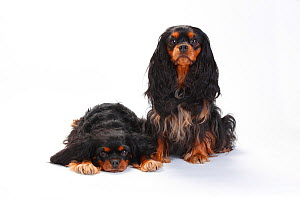 Cavalier King Charles Spaniel, bitches with black-and-tan coat, sitting and lying down  -  Petra Wegner
