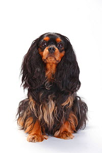 Cavalier King Charles Spaniel, bitch, with black-and-tan coat, sitting  -  Petra Wegner