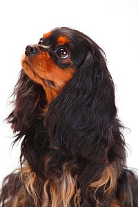 Cavalier King Charles Spaniel, bitch with black-and-tan coat  -  Petra Wegner,Petra Wegner