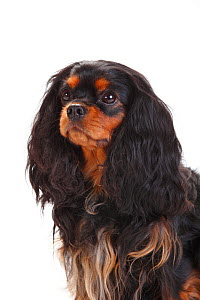 Cavalier King Charles Spaniel, bitch with black-and-tan coat  -  Petra Wegner