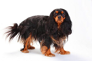 Cavalier King Charles Spaniel, bitch with black-and-tan coat, standing  -  Petra Wegner