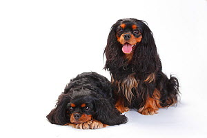 Cavalier King Charles Spaniel, two bitches with black-and-tan coat sitting and lying down  -  Petra Wegner