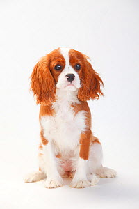 Cavalier King Charles Spaniel, puppy with blenheim coat sitting , aged 5 months  -  Petra Wegner
