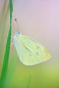 Large white butterfly (Pieris brassicae), Vallee de l'Eure (Eure Valley), Eure-et-Loir, France, August  -  Benjamin  Barthelemy