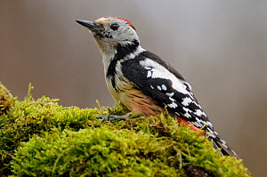 Female Middle spotted woodpecker, (Dendocropos Medius), Vallee de la Moselle, Lorraine, France, April.  -  Benjamin Barthelemy