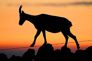 Ibex (Capra ibex) silhouetted walking along a stone wall with barbed wire, Neuchatel, Switzerland, September. - Benjamin  Barthelemy