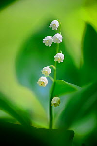 Lily of the valley (Convallaria majalis), Foret de Puvenelle, Lorraine Regional Natural Park, Lorraine, France, May. - Benjamin  Barthelemy