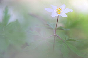 Wood anemone (Anemone nemorosa) in flower, Vallee des Cailles, Eure-et-Loir, France, April. - Benjamin Barthelemy,Benjamin  Barthelemy