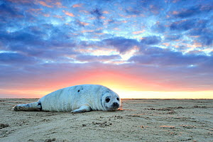 Common seal (Phoca vitulina) pup hauled out on a beach at sunrise, Donna Nook Lincolnshire Wildlife Trust Reserve, Lincolnshire, England, UK, January.  -  Benjamin  Barthelemy