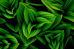 Great yellow gentian (Gentiana lutea) leaves. Haute-Savoie, Massif des Bauges, French Alps, May.  -  Benjamin Barthelemy