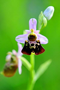 Late spider orchid (Ophrys fuciflora) in flower, Lorraine Regional Natural Park, Lorraine, France, May.  -  Benjamin Barthelemy