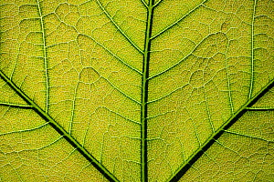 Close up of a Plane tree (Platanus) leaf showing veins, Lorraine Regional Natural Park, France, May - Benjamin Barthelemy