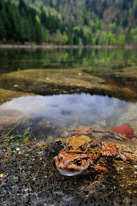 Pair of Common european toads (Bufo bufo) pair in amplexus in the Lac des Corbeaux, with frogspawn, Ballons des Vosges Regional Natural Park, Vosges, Lorraine, France, April  -  Benjamin  Barthelemy