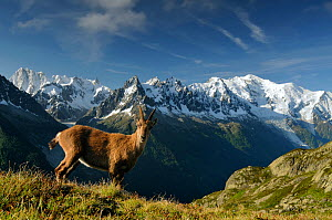 Alpine ibex (Capra ibex ibex) in front of the Mont Blanc massif, seen from the Aiguilles Rouges (Red Peaks) Regional Natural Park, Haute-Savoie, France, June.  -  Benjamin Barthelemy,Benjamin  Barthelemy