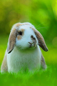 Portrait of brown and white coated Holland lop-eared domestic rabbit (Oryctolagus cuniculus domesticus), Lorraine, France, July - Benjamin Barthelemy