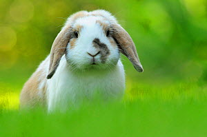 Portrait of brown and white coated Holland lop-eared domestic rabbit (Oryctolagus cuniculus domesticus), Lorraine, France, July  -  Benjamin Barthelemy,Benjamin  Barthelemy