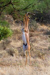 Gerenuk (Litocranius walleri) male standing on hind legs, fedding on tree leaves, Samburu game reserve, Kenya  -  Denis-Huot